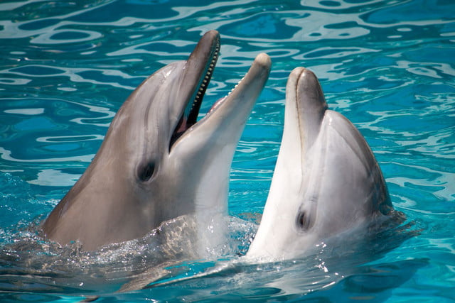 inteligencia artificial lenguaje delfines 7420254 pair of dolphins swimming in water 640x0