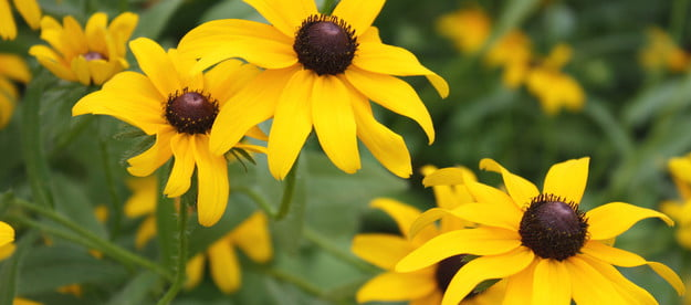 A close-up of some black-eyed Susan blooms