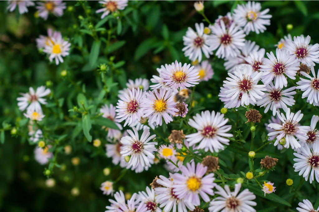 Beautiful calico aster blooms