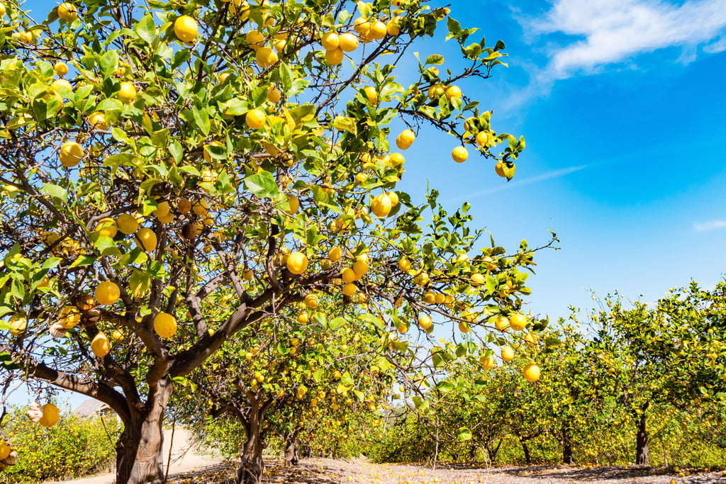 A sunny orchard of citrus trees with yellowish citrus fruits