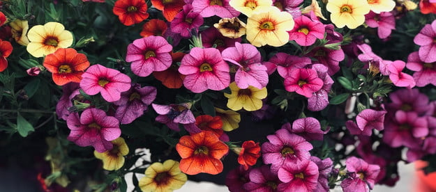 A basket of colorful petunias