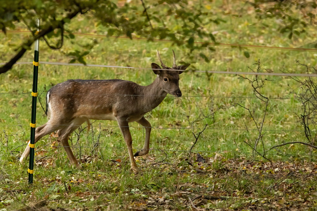 young deer blocked by electric fence