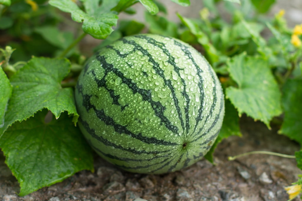 A growing watermelon on a vine