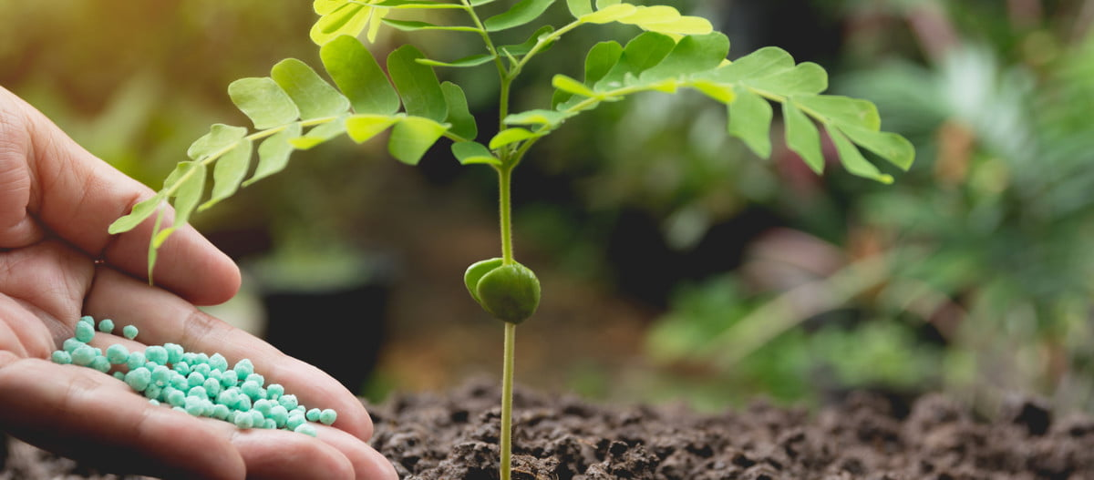 A hand dropping fertilizer around a seedling