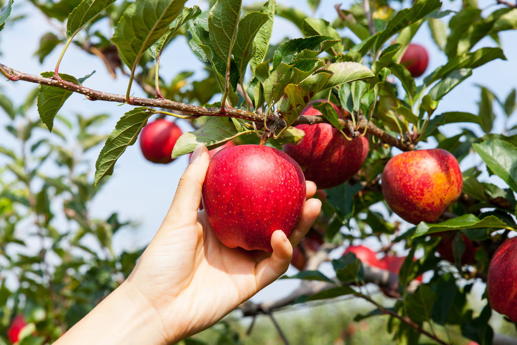 A hand reaching up to pick a ripe red apple