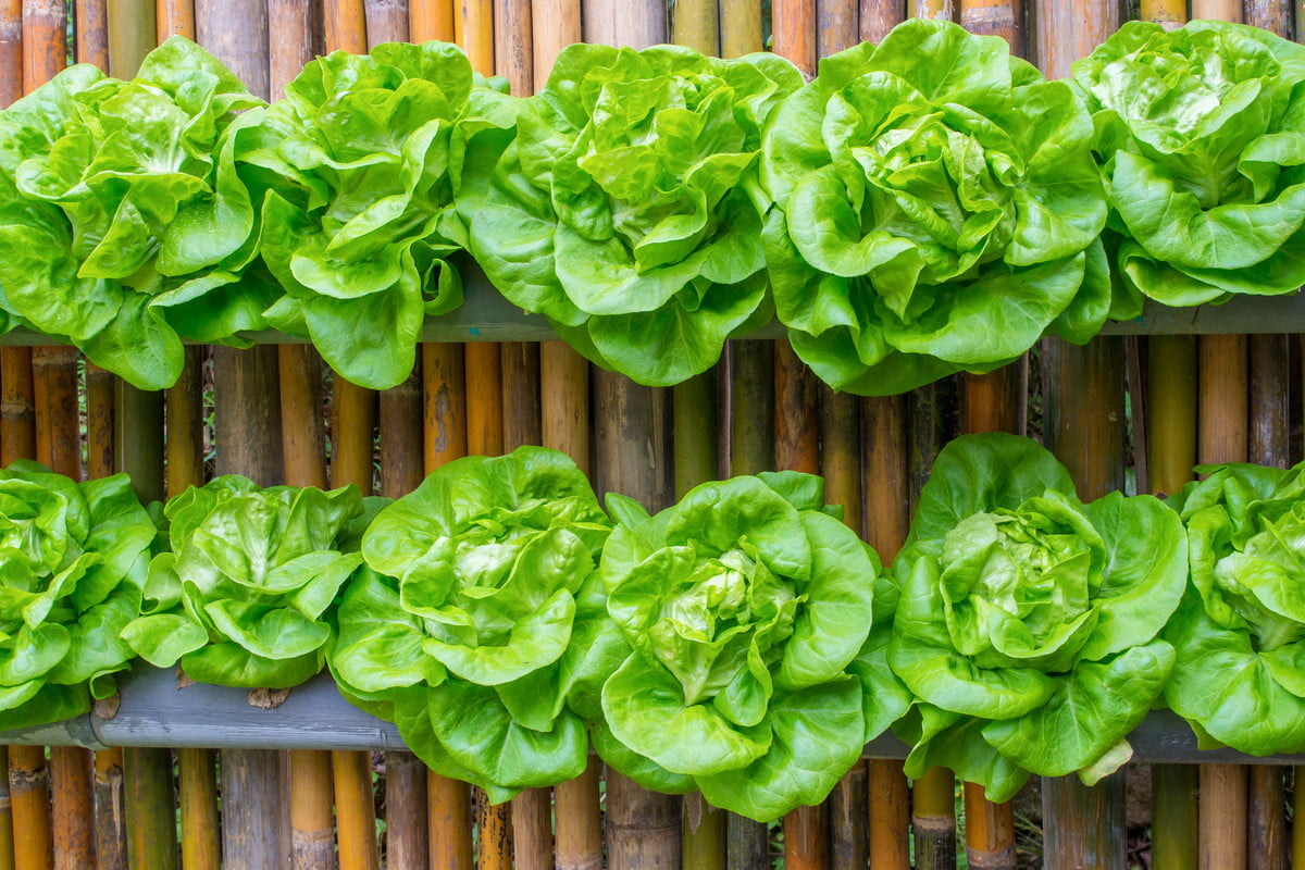 wall planters with lettuce