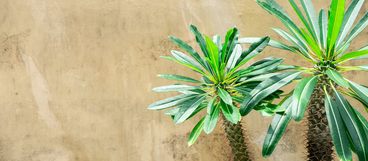 Small potted Madagascar palms