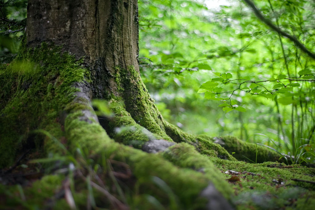 tree roots with moss