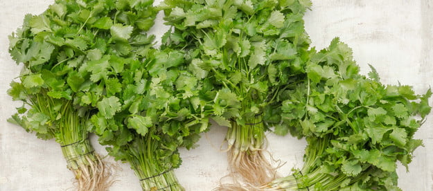Four bunches of unplanted parsley with roots
