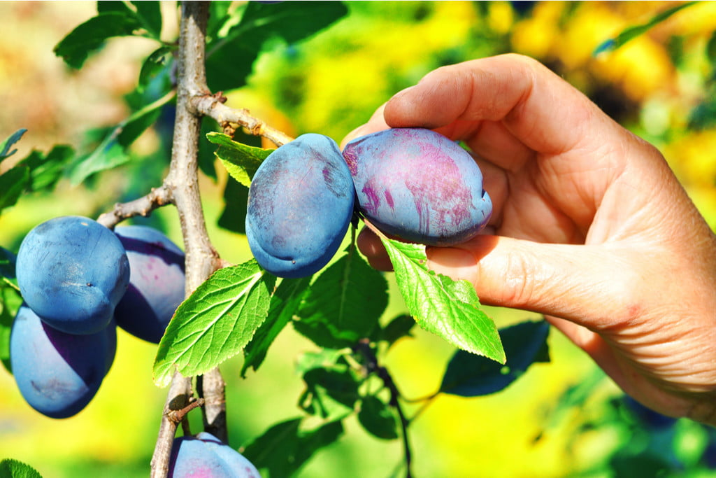 closeup picking plums from a tree