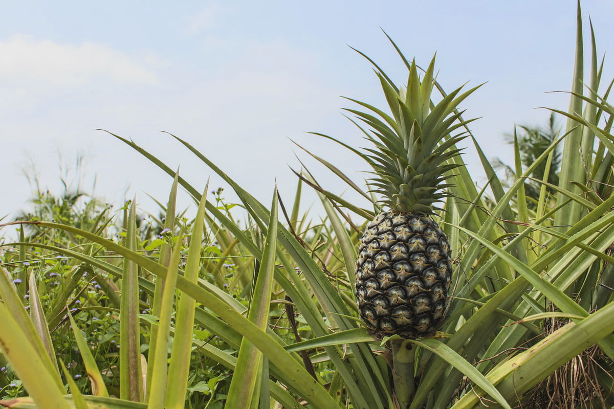 pineapple plant with unripe fruit