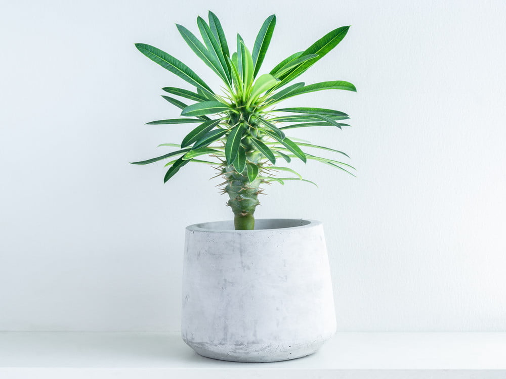 A potted Madagascar palm