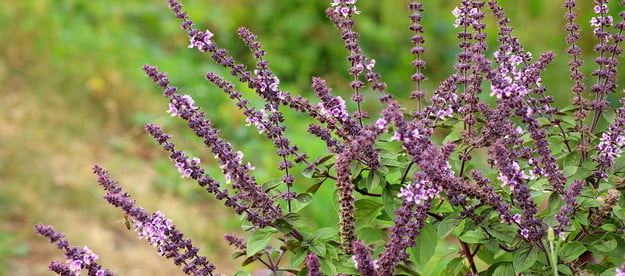 A sage plant with purple flowers