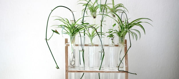 Spider plants rooting in water