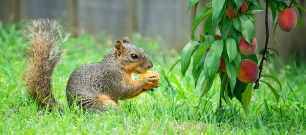 squirrel eating a peach from a tree