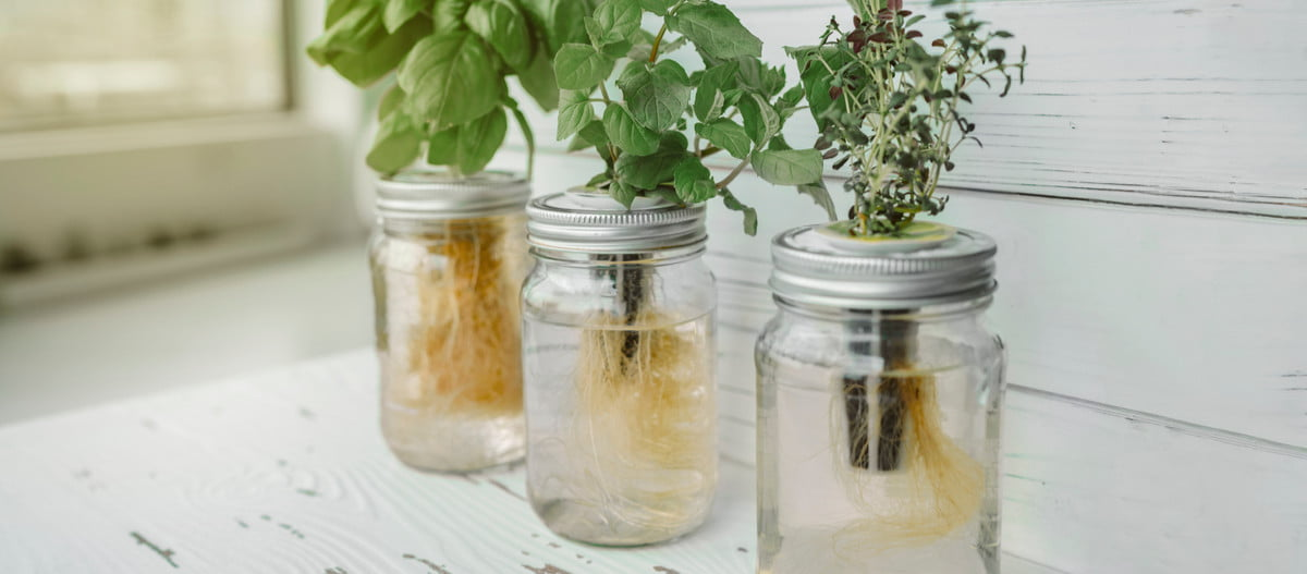 Herbs rooted in water