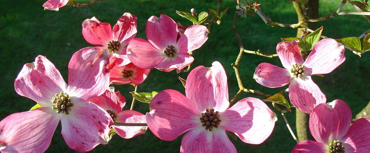 A young dogwood tree with pink flowers
