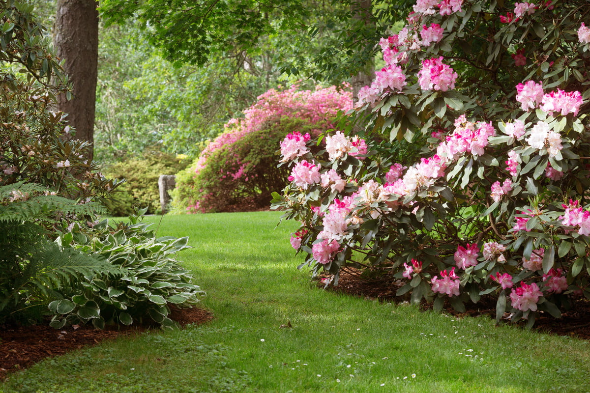 blooming rhododendrons at the edge of a lawn