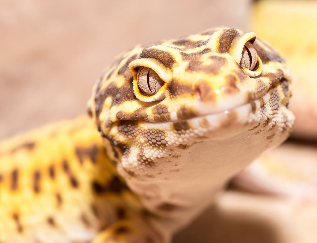 Close-up of leopard gecko looking at camera