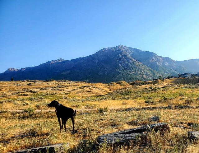 Famous Shamus, a black mutt, stands in a golden field in front of a mountain, with a blue sky above