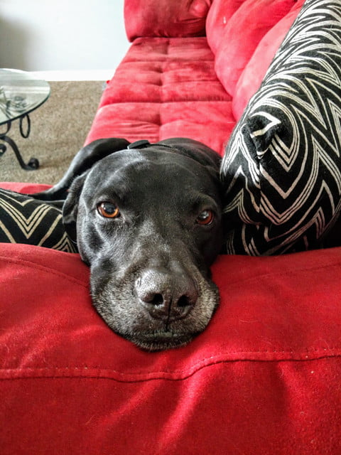 Famous Shamus, a black lab/pit/Dane mix with some gray on his snout, lies his head down on the arm of a red couch, next to some