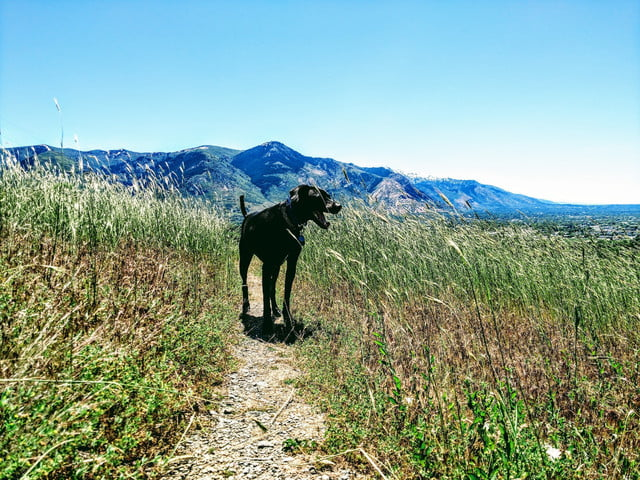 a black lab/pit/Dane mix stands in a field of tall green grass in the hills, beneath a blue sky