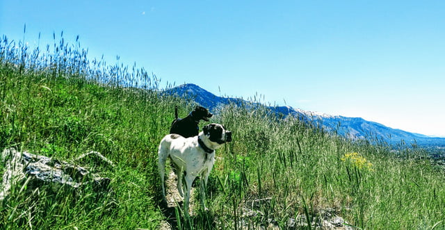 a brown and white dog stands in front of a black dog. They are in a field of tall, green grass in the hills, under a blue sky