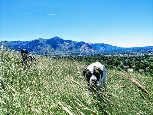 a white and brown dog is in the foreground and a black mutt is in the background in a field of long grass in the mountains on a